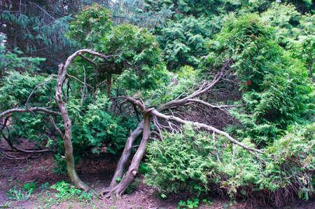 Juniperus communis - evergreen juniper tree, green branch