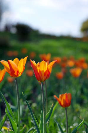 flowers sun: Spring background with tulips over natural background Stock Photo