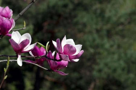 tree detail: Beautiful Flowers of a Magnolia Tree