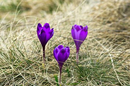 assen: Spring crocus flowers on green natural background. Selective focus