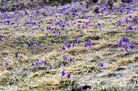 assen: Spring crocus flowers on  natural background. Selective focus Stock Photo