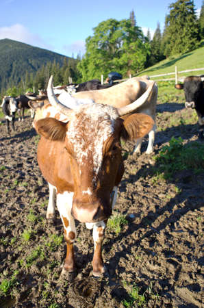 pastureland: Dairy cows in paddock eating fresh grass under the blue sky