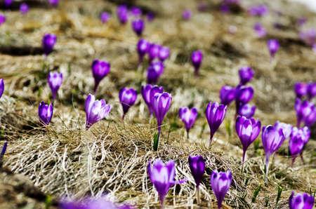 iluminado a contraluz: Flores del azafrán del resorte en el fondo natural. enfoque selectivo Foto de archivo