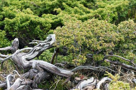 enebro: Juniperus communis - árbol de hoja perenne del enebro árbol, rama verde Foto de archivo