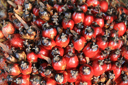 Beautiful red color oil palm fruits texture in the farm photo