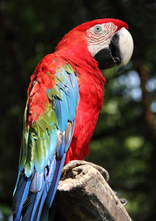 macao: A colorful scarlet macaw stand on a branch in the bird park Stock Photo