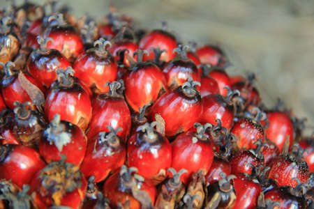 Beautiful red color oil palm fruits in the farm