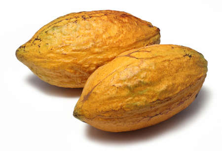 Two fresh cacao pods isolated on a white background photo