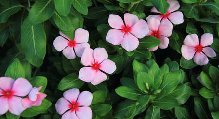 beautiful pink Periwinkle in a spring garden