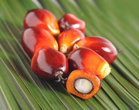 oil palm: Cut fresh oil palm fruits on the leaves background