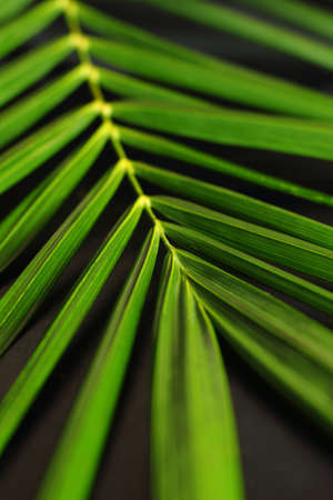 palm oil plantation: Fresh and green oil palm leaves on a black background Stock Photo