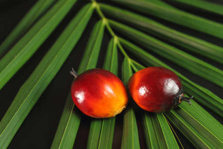 a bunch of oil palm fruits on a green leaves background photo
