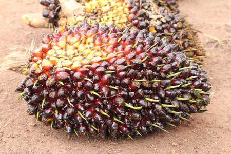 red palm oil: Un lotto di freschi e frutti rossi palma da olio nelle piantagioni