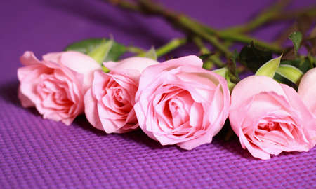 synonymous: Fresh pink roses close up. Rose is synonymous with love. Stock Photo