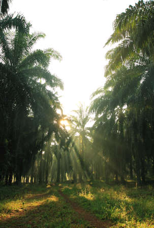 Oil Palm: View of tropical oil palm farm estate at the Malaysia