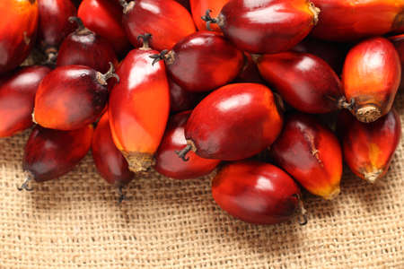a bunch of oil palm fruits on a sack background photo