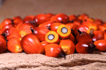 A group of oil palm fruits on the sack bag photo
