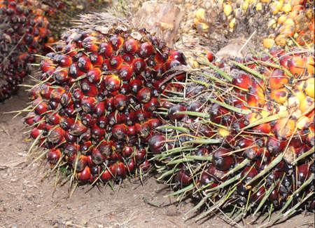 red palm oil: Un lotto di freschi e frutta rossa di palma da olio nelle piantagioni Archivio Fotografico