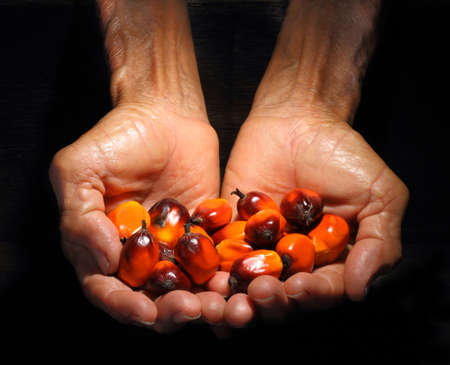 Hands holding a group of fresh and ripe oil palm fruits