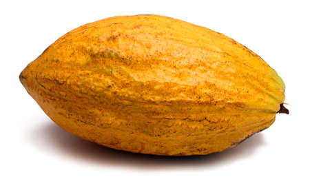 두 개의 신선한 카 카오 깍 지 흰색 배경에 고립. 코코아 파우더와 초콜릿은 카카오 나무의 포드에서 발견 된 건조 씨앗으로 만듭니다.
