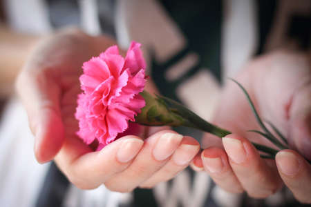 Hands holding a pink carnation flower. Mothers Day is observed the second Sunday in May.