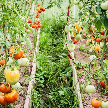 Garden Greenhouse with Tomatoes Growing and Ripening, square