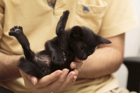 adopting: Close up Man in Yellow Shirt Holding Cute Black Kitten with Feet Up. Stock Photo
