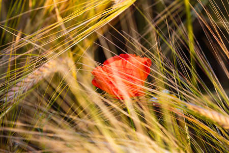 Red poppy flower in a grass field during a sunny day.
