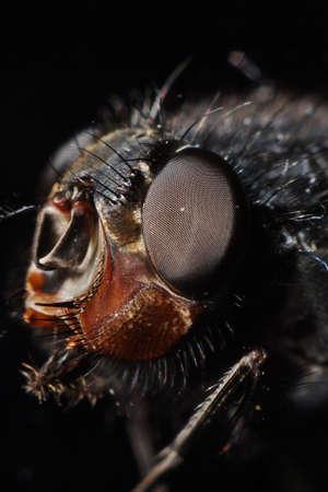 irritate: blue bottle fly