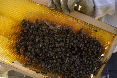 Bees on a honeycomb, beekeeper