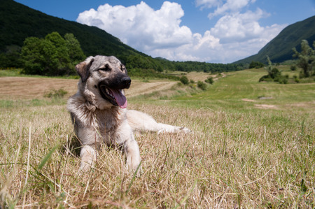 Big grey dog layin in the grass in wilderness