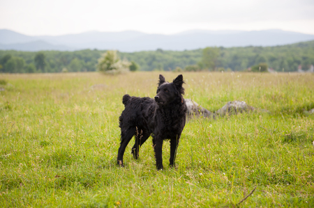 Croatian shepherd dog in the field. Black dog in nature, outdoors.