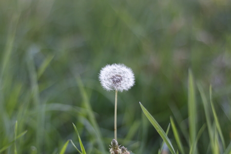 A dandelion flower closeup on a summer sunny day with bokeh background.