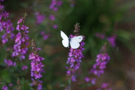 Beautiful lilapurple flowers and white butterfly closeup with green bokeh background. Stock fotó
