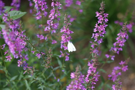 Beautiful lilapurple flowers and white butterfly closeup with green bokeh background. Stock Photo