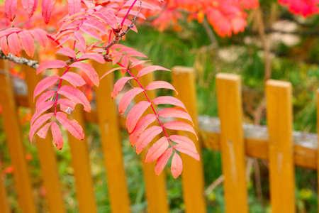 bunchy: autumn leaves rowan