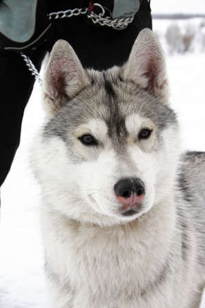 clr: Husky dog breed in the winter outdoors