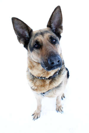 brown and black dog face: portrait of a German Shepherd on a white background