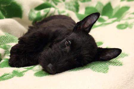 Scottish Terrier puppy photo