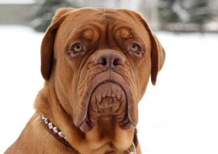 portrait of bordeaux dog in winter park