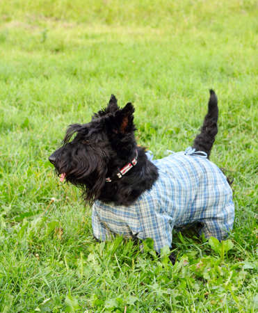 Scottish terrier dog in overalls walking in the park photo