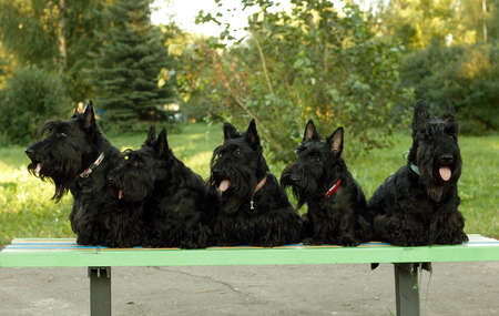 five scottish terriers sitting on a park bench photo