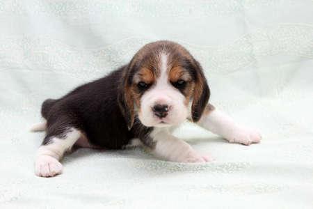 a wonderful little puppy dog beagle