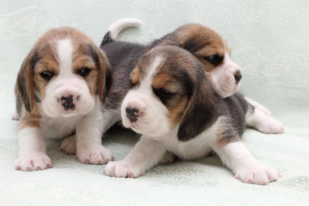 brown and black dog face: a group of small dogs puppies beagle Stock Photo
