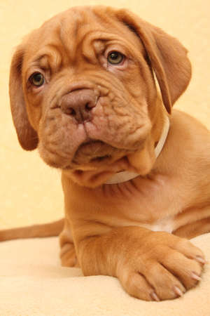 stitting: puppy dog breed Dogue de Bordeaux Stock Photo