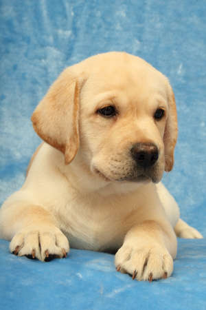 labrador puppy on the blue background photo