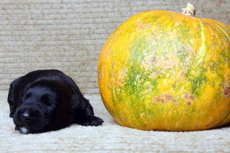 Sweet little black Scottish Terrier puppy