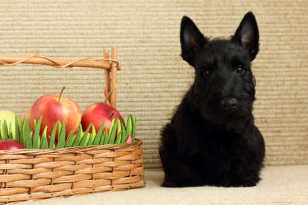 scottish terrier with apple