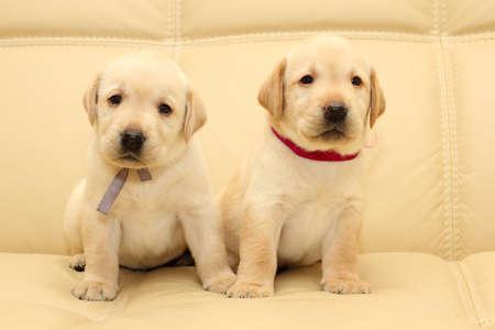 puppy love: Group of adorable labrador puppies Stock Photo