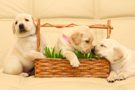 Group of adorable labrador puppies Banque d'images